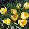 Crocus or Daffodils