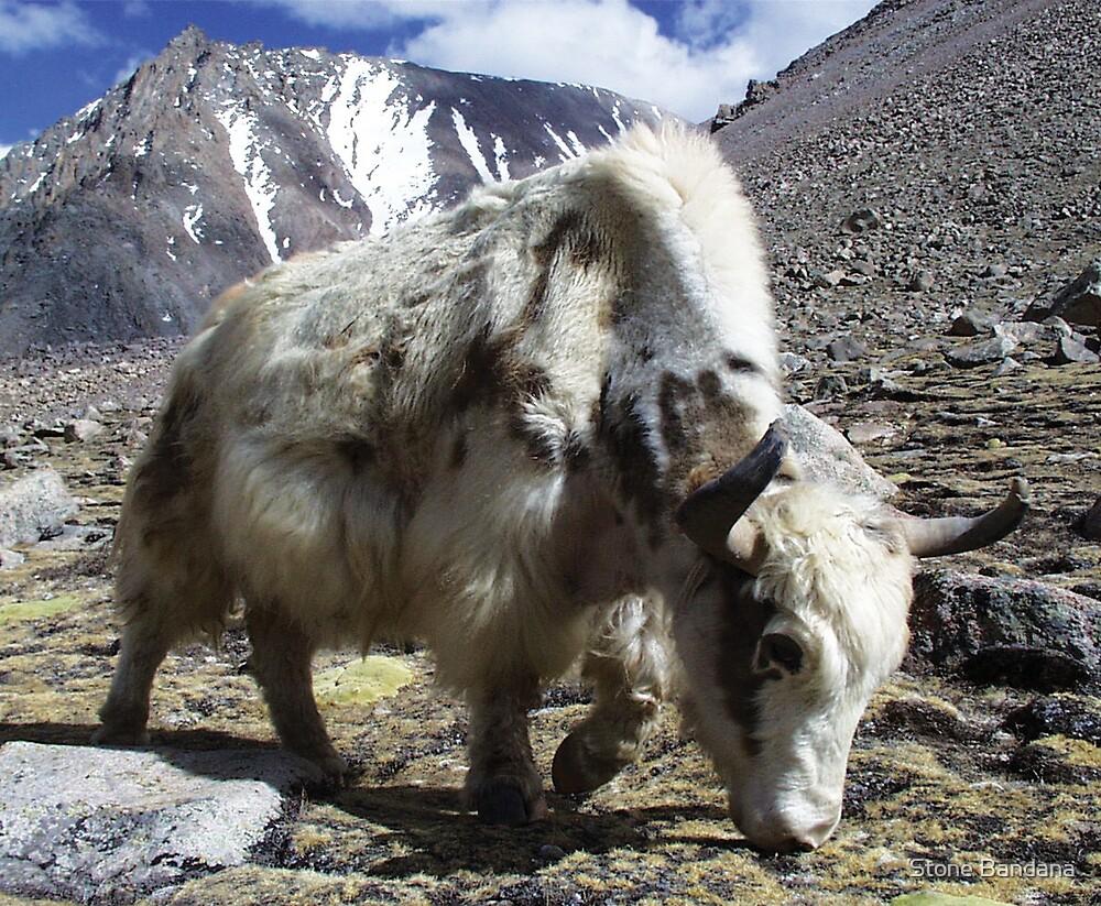 Yak, around the Kora Mt Kailash, Tibet by Stone Bandana