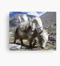 Yak, around the Kora Mt Kailash, Tibet Metal Print