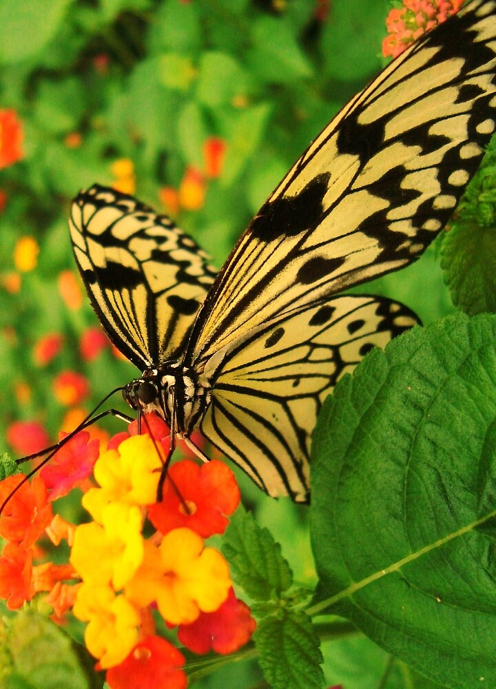 Butterfly by chiogonzalez