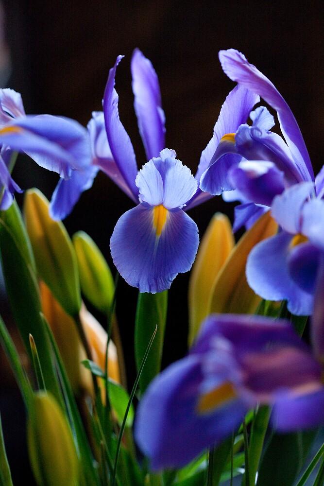 Iris by henleyhelen