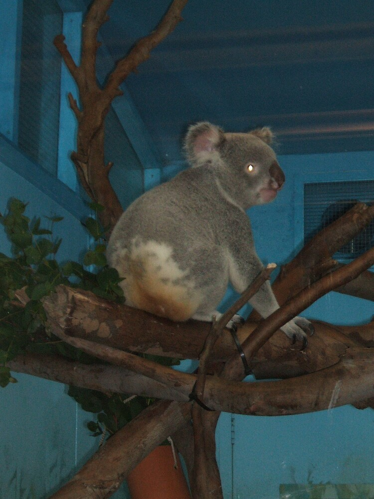 Koala by stevebrittain