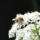 Biene in Nahaufnahme von LarryWintersohn