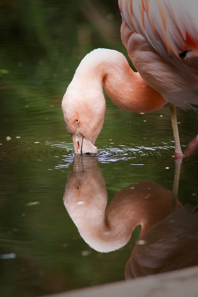 Flamingo by henleyhelen