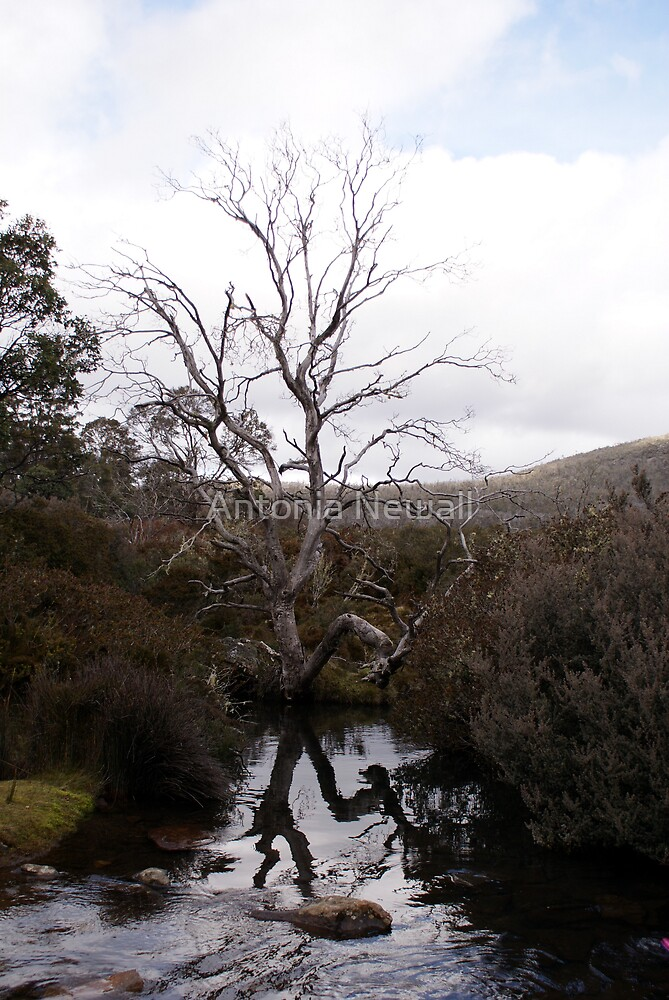 Old Tree by Antonia Newall