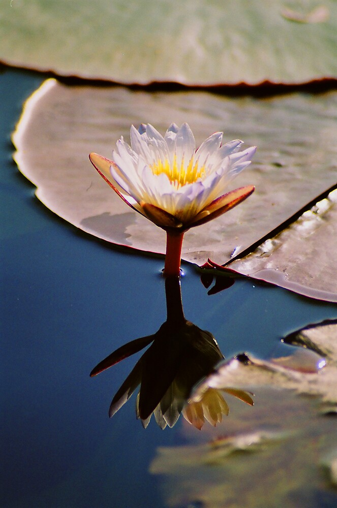 WATER LILLY REFLECTS by GARTH  CHRISTIANSEN
