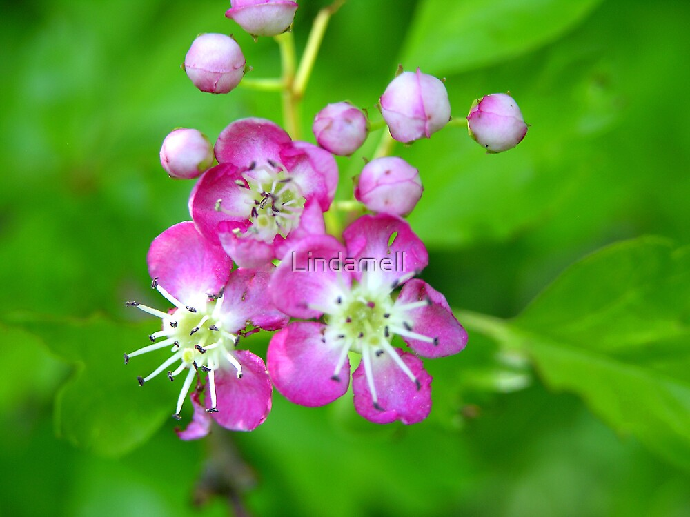Red Mayflower Blossom by Lindamell