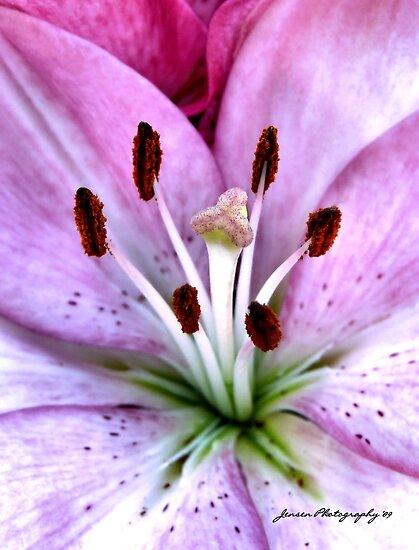 Pink Lily by Carla Jensen