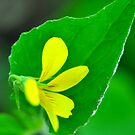Downy Yellow Violet by Nancy Barrett