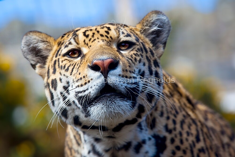 Jaguar by Stuart Robertson Reynolds