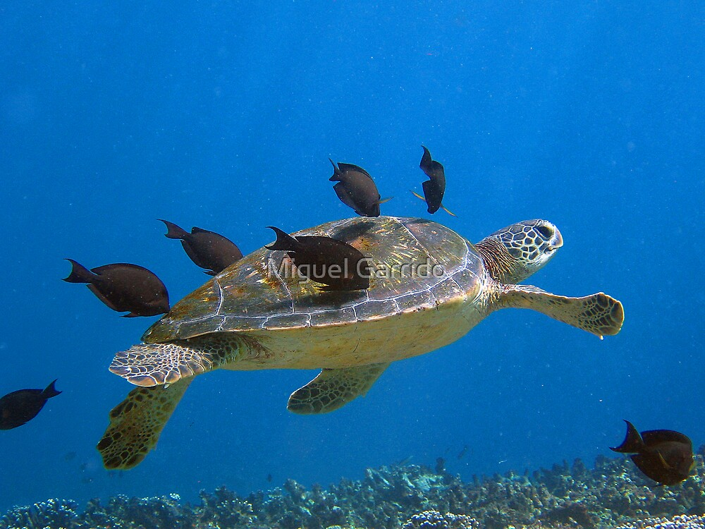 Turtle Cleaning by Miguel Garrido