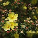 Budding Potentilla by Barry Goble