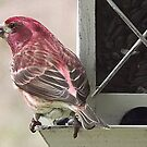 House Finch by Rusty Katchmer