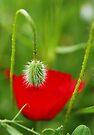 Spring bud by George Parapadakis (monocotylidono)