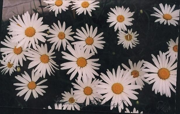 """""""Dancing Daisies"""" by Blanche57"""