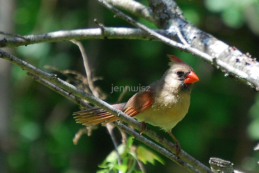 Female Cardinal by jennwisz