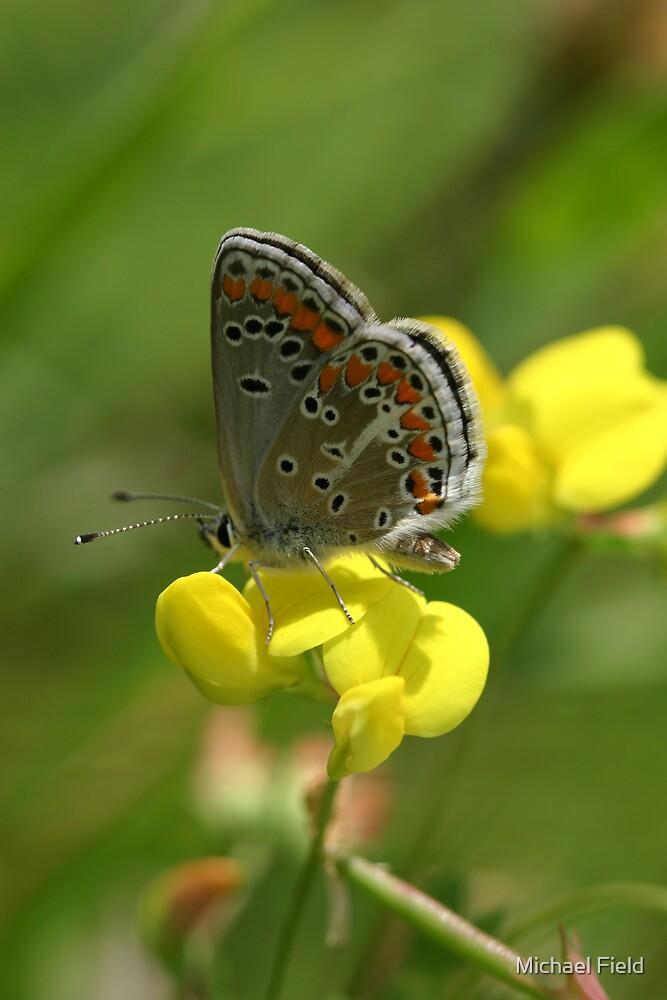 Brown Argus Butterfly on Birdsfoot Trefoil Flowers by Michael Field