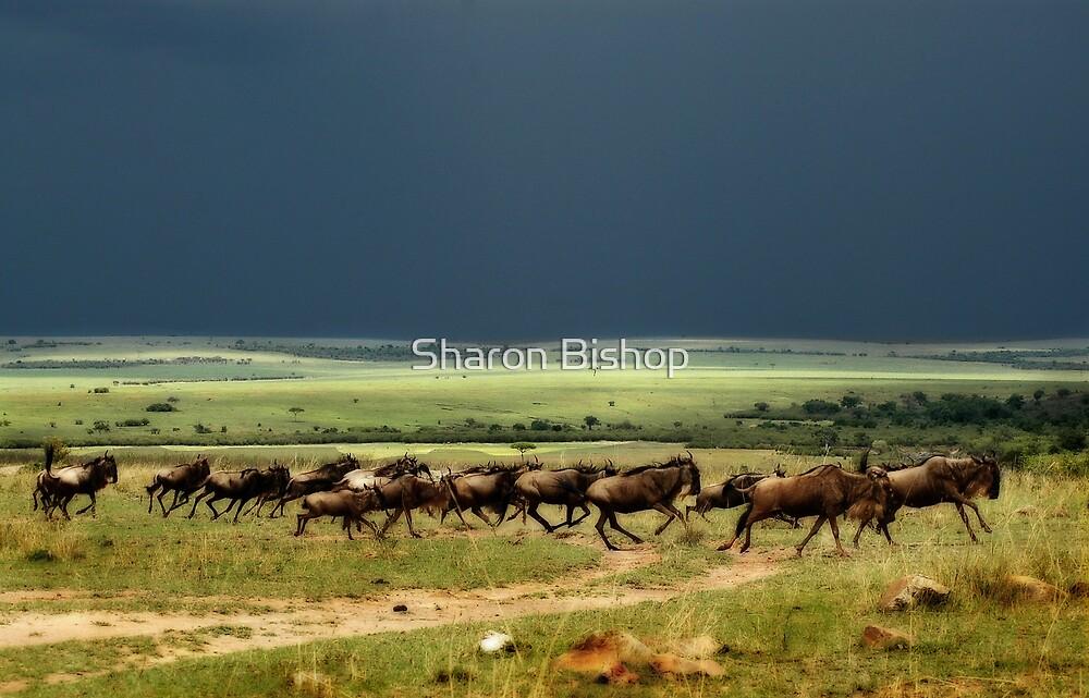 Wildebeest on the stampede by Sharon Bishop