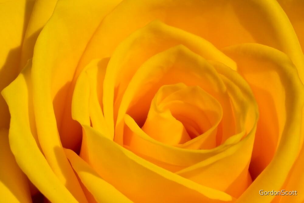 Yellow Rose 1 by GordonScott