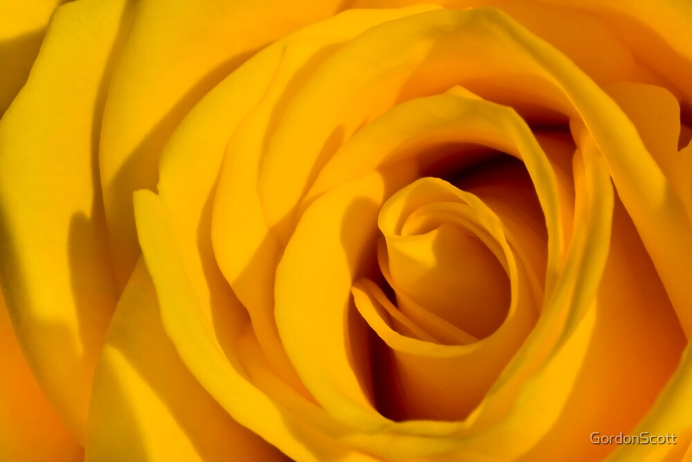 Yellow  Rose 2 by GordonScott