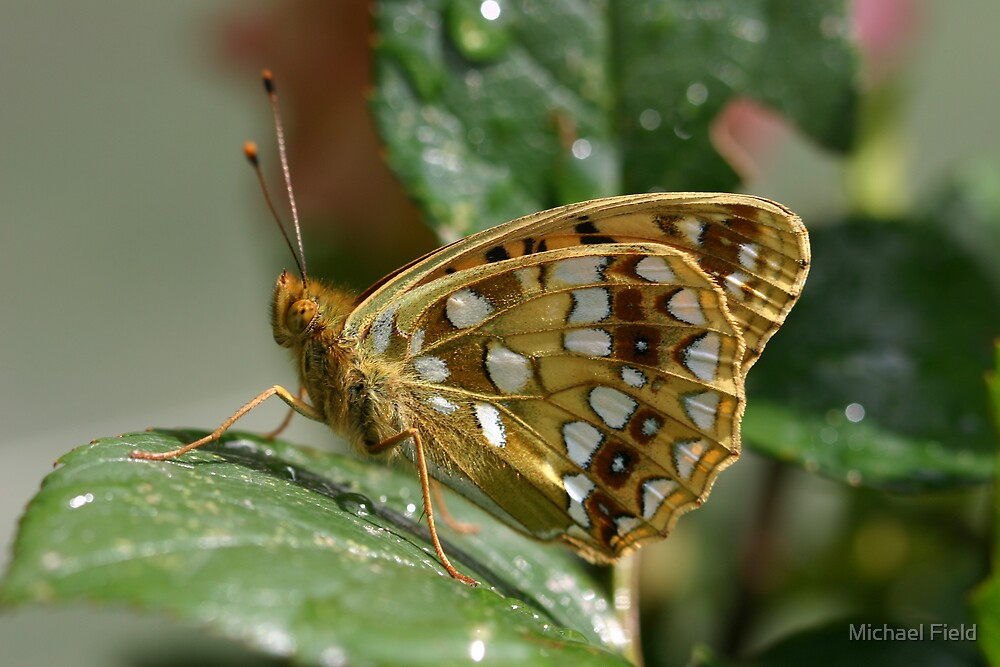 High Brown Fritillary by Michael Field