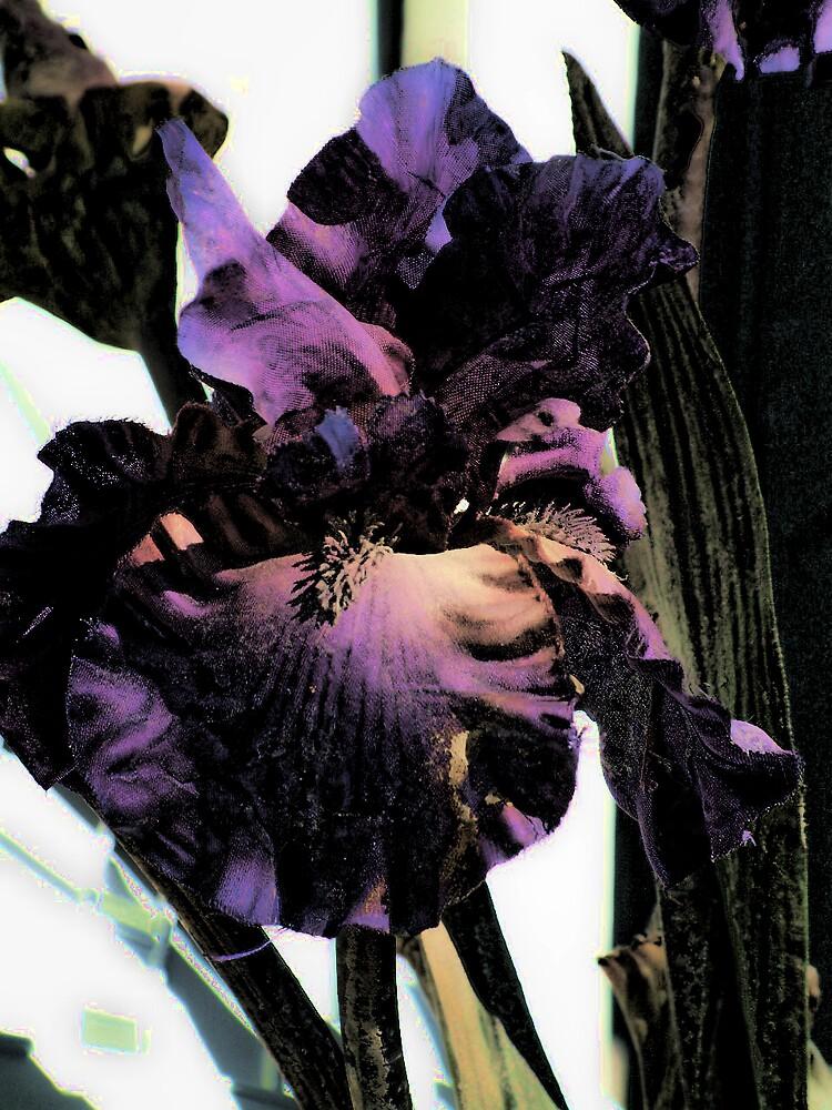 Iris by GulfCoastArtist