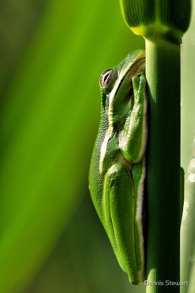 """American Green Tree Frog"" by Dennis Stewart   Redbubble"
