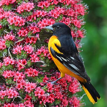 Baltimore Oriole by jozi1