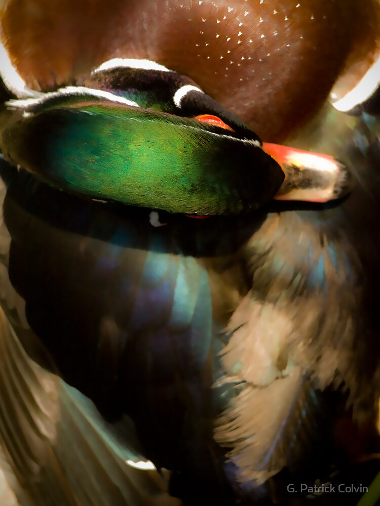 Wood Duck Abstract by Gregory Colvin