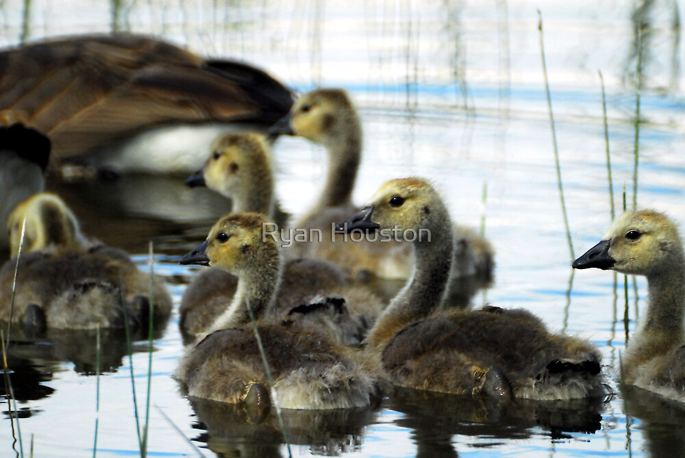 Canadian Geese - Goslings by Ryan Houston