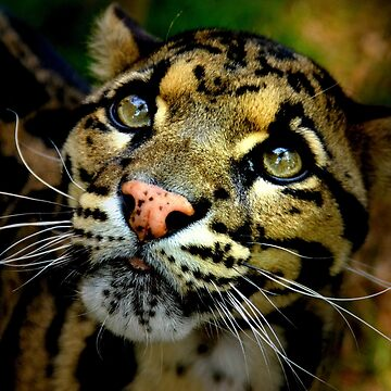 ~Clouded Leopard~ by asymons