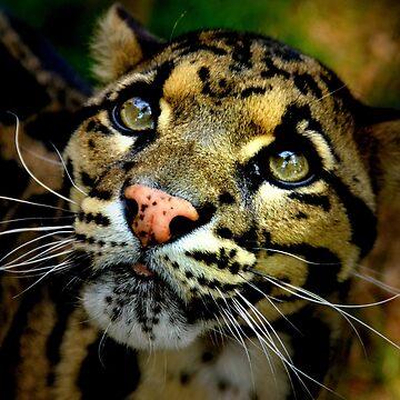 ~Clouded Leopard~ by asymons
