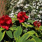 Red Rhododendron and Pink Clematis by SunriseRose