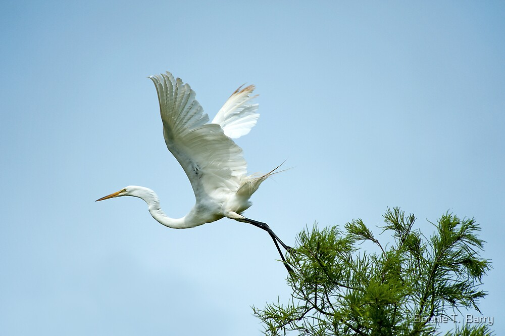 Egret at Take-Off  by Bonnie T.  Barry