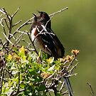 Male Spotted Towhee by Alyce Taylor