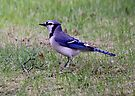 Blue Jay by Vickie Emms