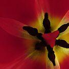 Heart of a Tulip by Diane Petker
