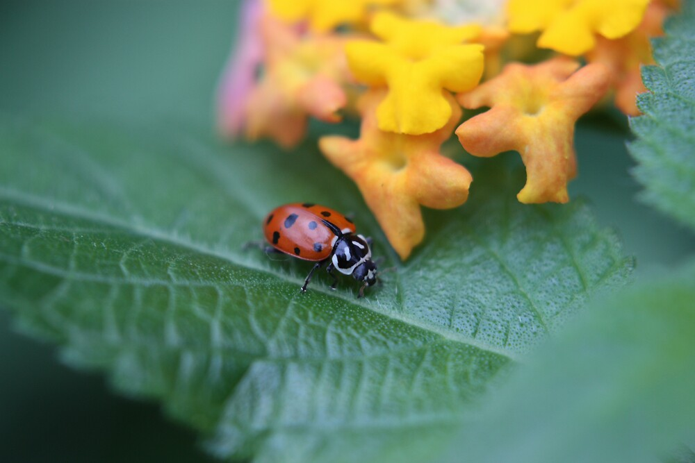 Lady Bug by Colleen Salls