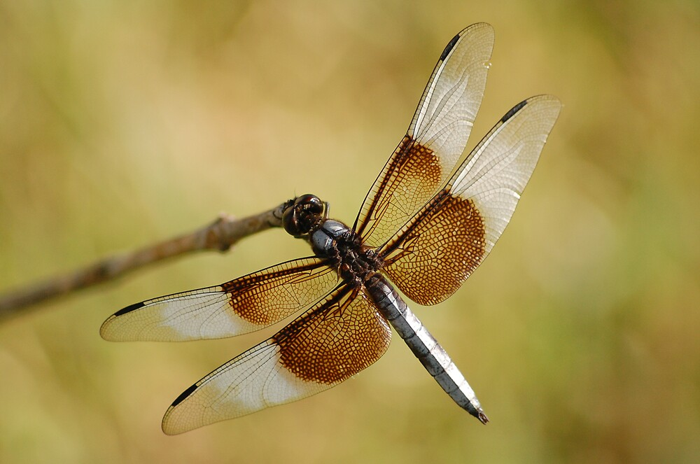 Dragonfly by kayf