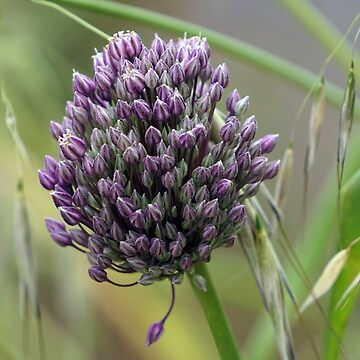 Allium head in bloom by CiaoBella
