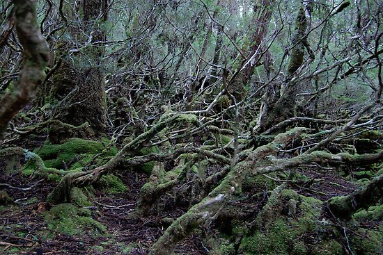 Under the Gondwana Rainforest Canopy  by cradlemountain