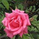 Beautiful Pink Rose in Albuquerque, New Mexico by janetmarston