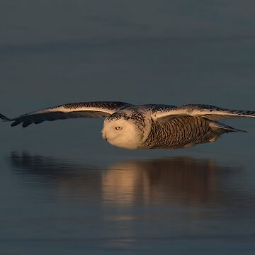 Snowy Owl on Ice by darby8