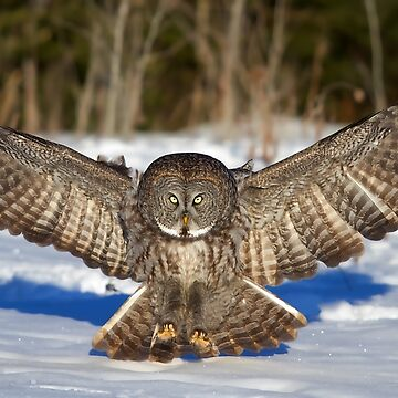 Great Grey Owl by darby8