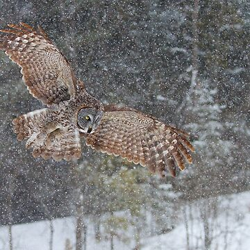 Through the Snow - Great Grey Owl by darby8