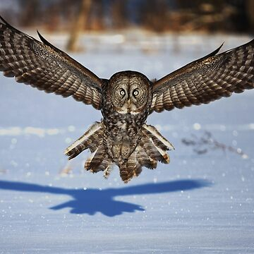 In your face - Great Grey Owl by darby8