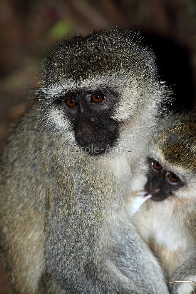 Black-faced Vervet Monkeys, Kenya. by Carole-Anne