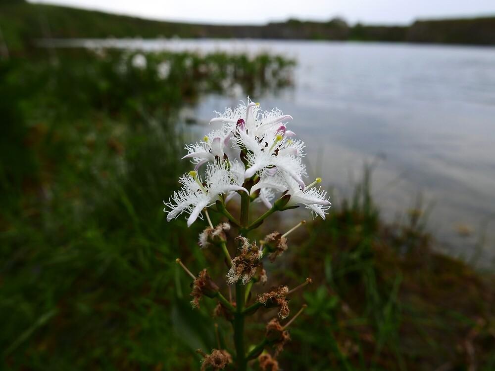 Bogbean (Menyanthes trifoliata) by IOMWildFlowers