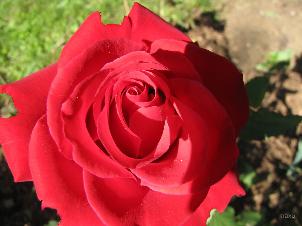 Our first rose of the season by maxy