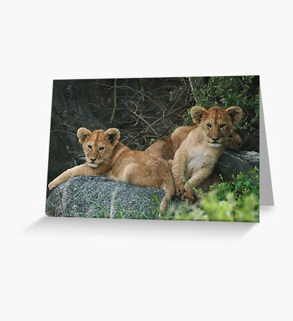 Lion Cubs Greeting Card